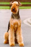 Airedale Terrier - (C) by HUNDE-iNFO.de