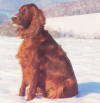 Irish Setter - (C) Hündin: Skibbereen Xylia Pride of Ireland