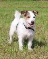 Parson Jack Russell Terrier - (C) by HUNDE-iNFO.de