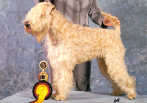Irish Soft Coated Wheaten Terrier - (C) Sabine Fechner, D