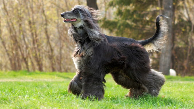 Afghanischer Windhund (Afghane)