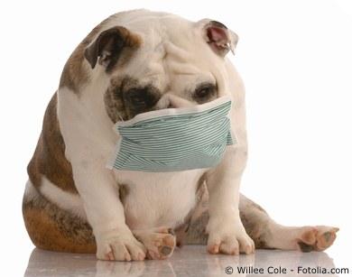 Boxer Dog Kennel Cough