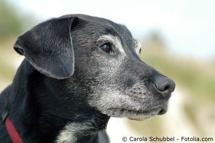 Älterer Hund