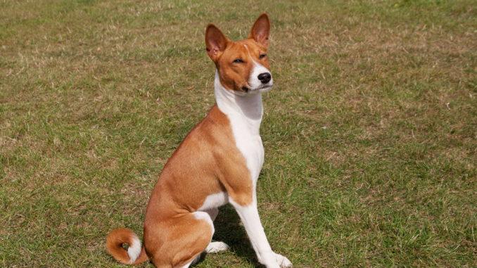 Basenji Kongo Terrier