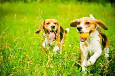 zwei Beagle spielend