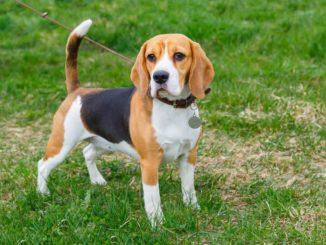 Beagle stehend Leine