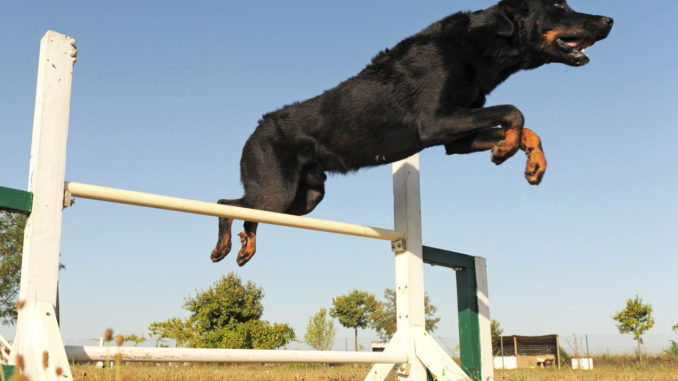 Beauceron (Berger de Beauce) beim Sport