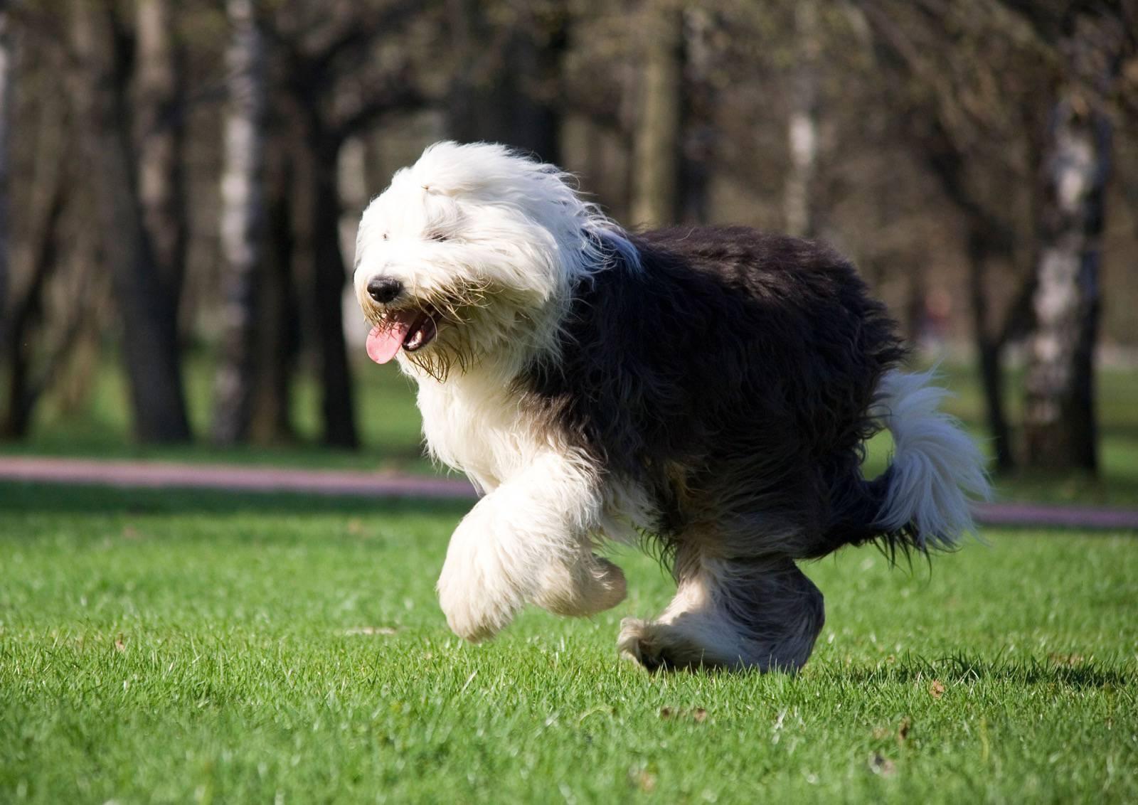 Dog Breed Info Komondor