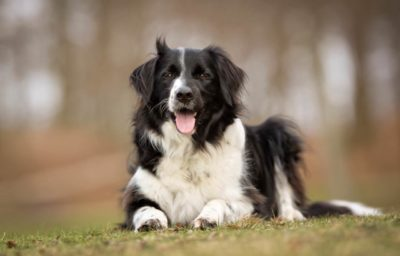 Border-Collie liegend