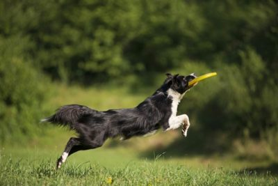 Border-Collie spielend