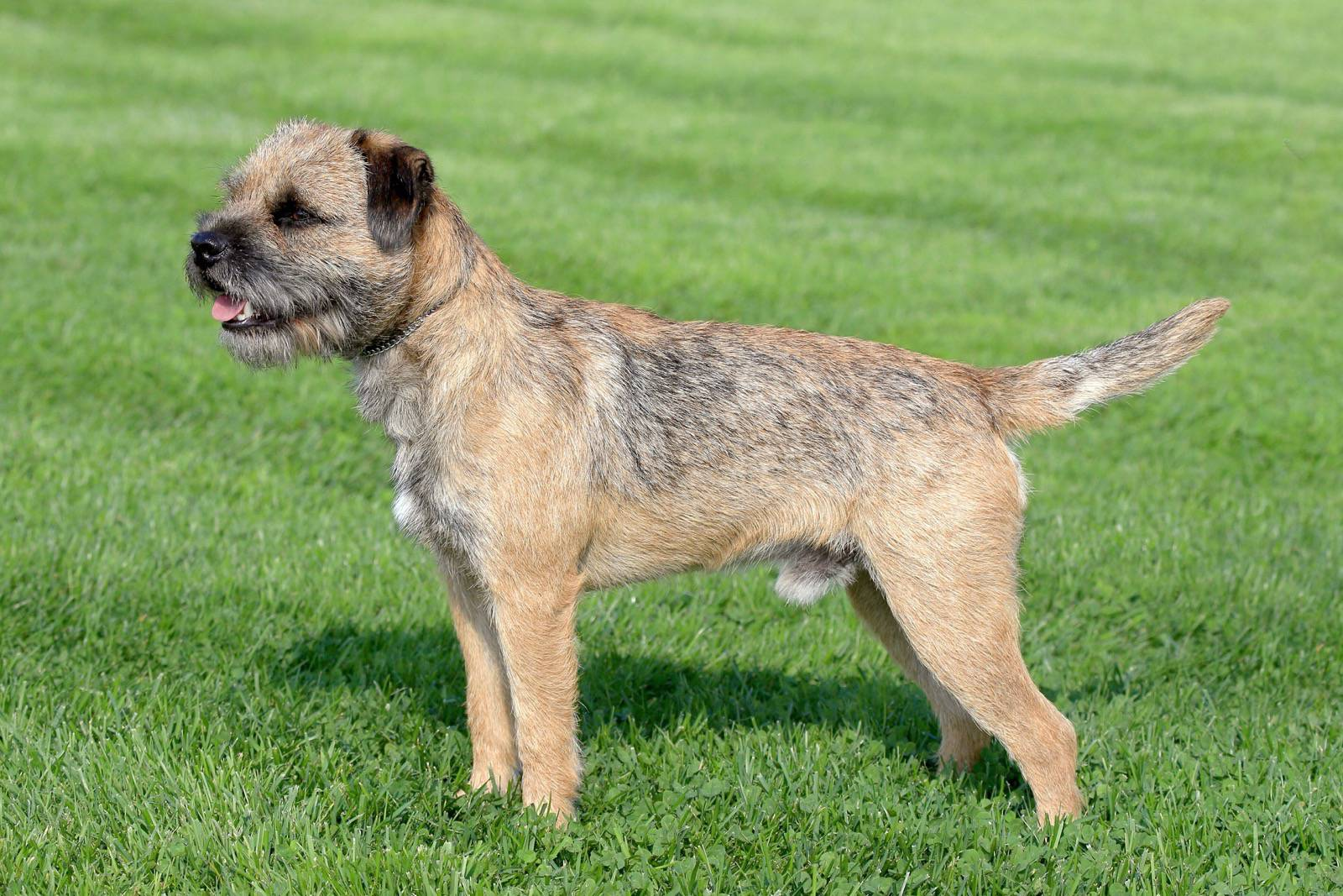 Small Dog Breeds Lhasa Apso