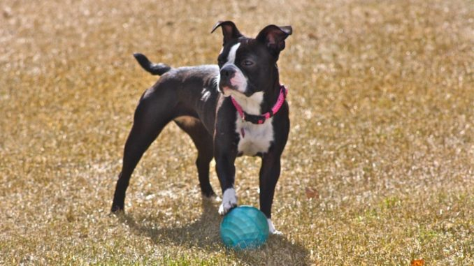 Boston-Terrier mit Ball