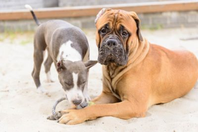 Bullmastiff Stafford Terrier