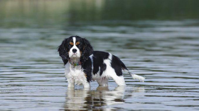 Cavalier King Charles Spaniel im Wasser