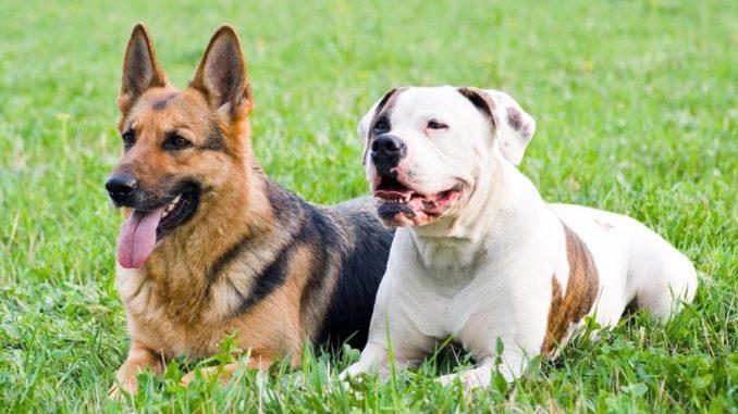 Deutscher Schäferhund American Bulldog