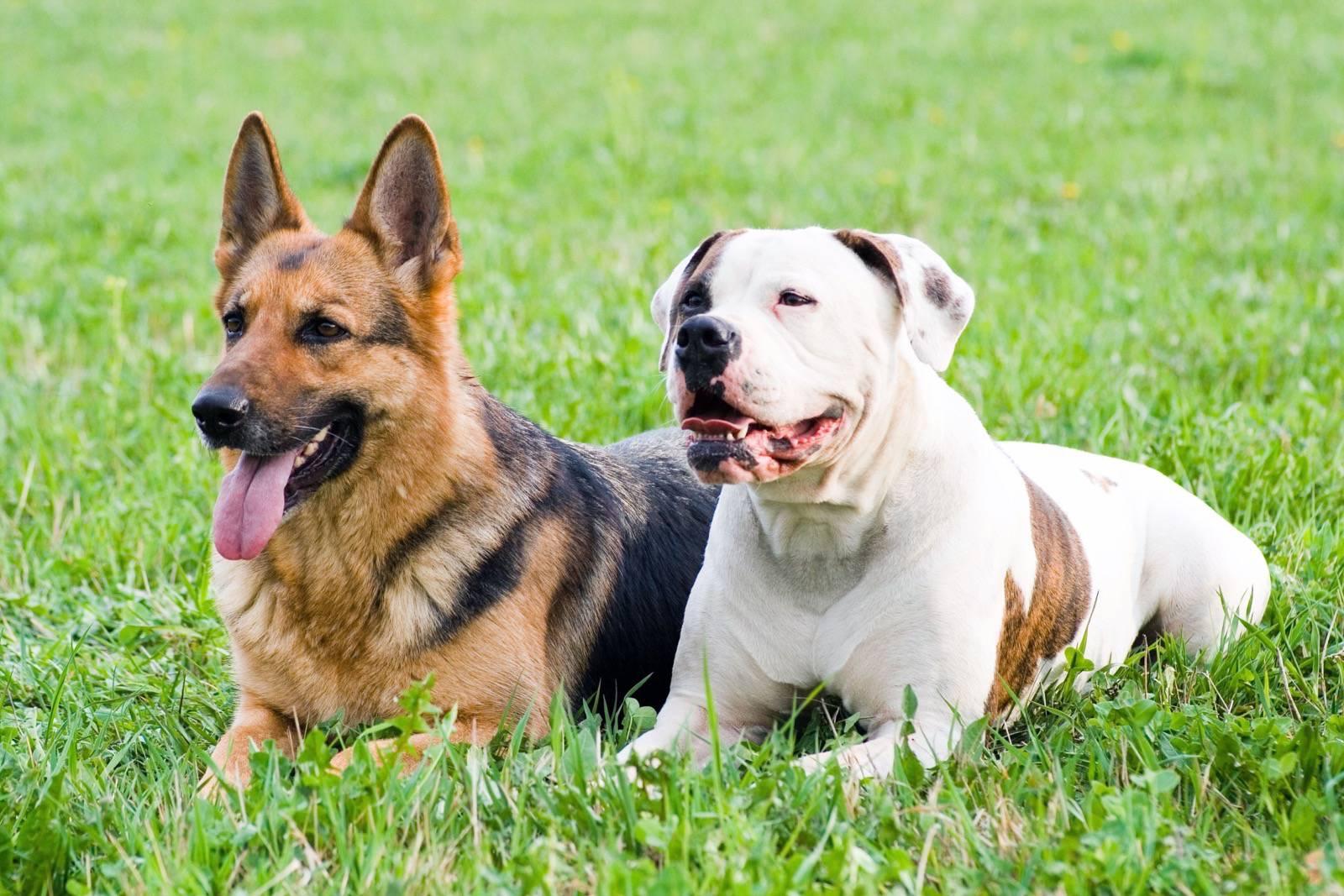 Deutscher schaferhund welpe gewicht