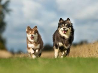 Finnische Lapphunde