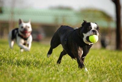 Französische Bulldogge laufend