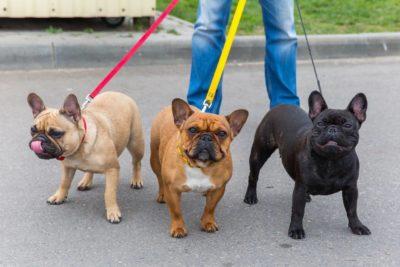 Französische Bulldogge verschiedene Farben