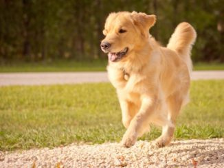 Golden Retriever laufend