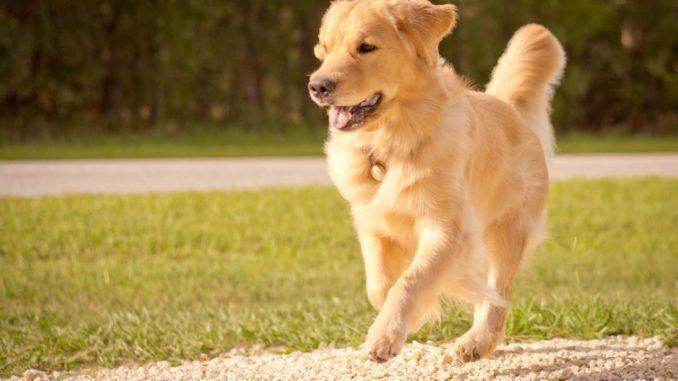 Golden Retriever laufend