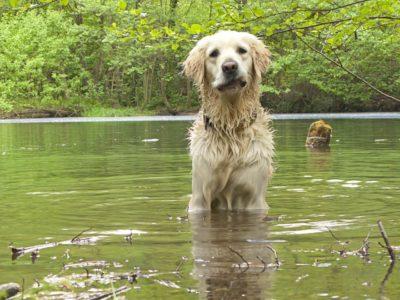 Golden Retriever Wasser