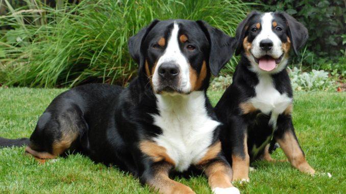 Grosser Schweizer Sennenhund