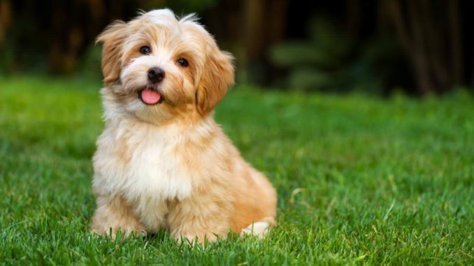 Best Small Hypoallergenic Dogs For Families