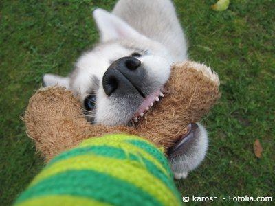Hund beißt Spielzeug