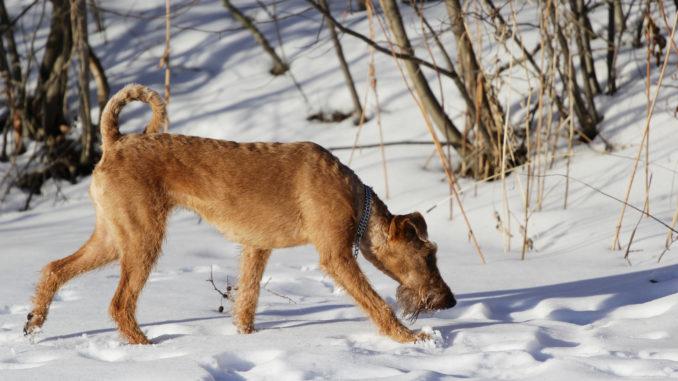 Irish Terrier im Schnee