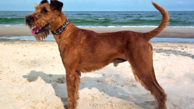 Irish Terrier am Strand