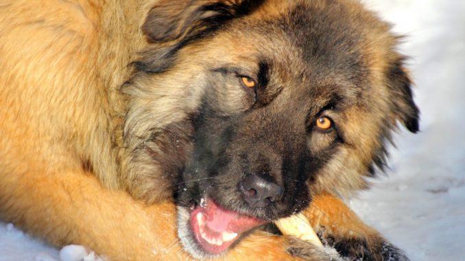 Kaukasischer Schäferhund Owtscharka