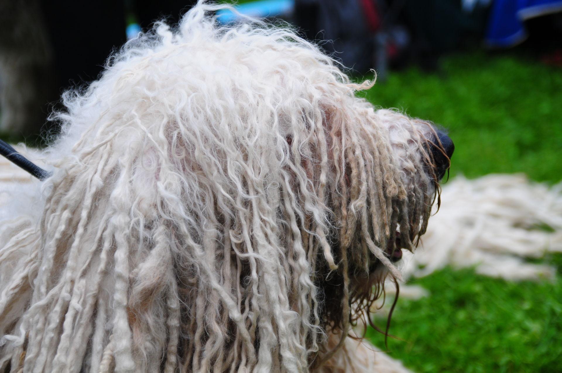 Komondor Hunde Infode
