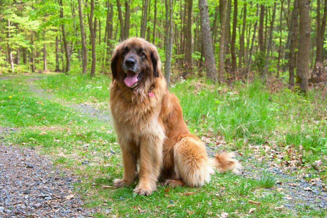 Dog Breeds Like St Bernard