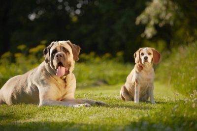 Mastiff Beagle