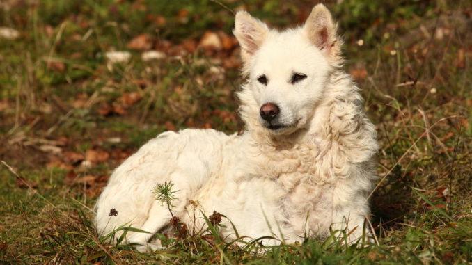 Mudi (Ungarischer Hirtenhund)