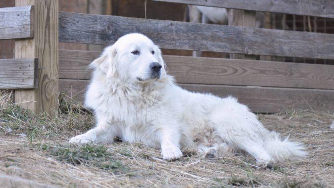 Pyrenäenberghund liegend