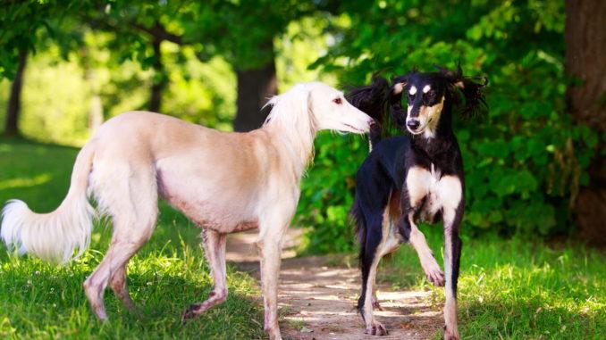 Saluki  Persischer Windhund