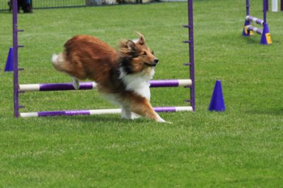Shelti Hundesport