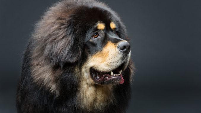 Tibetdogge