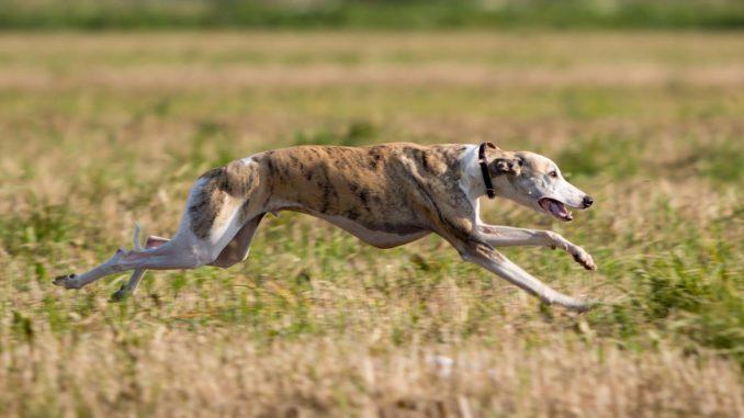 Whippet Windhund rennen