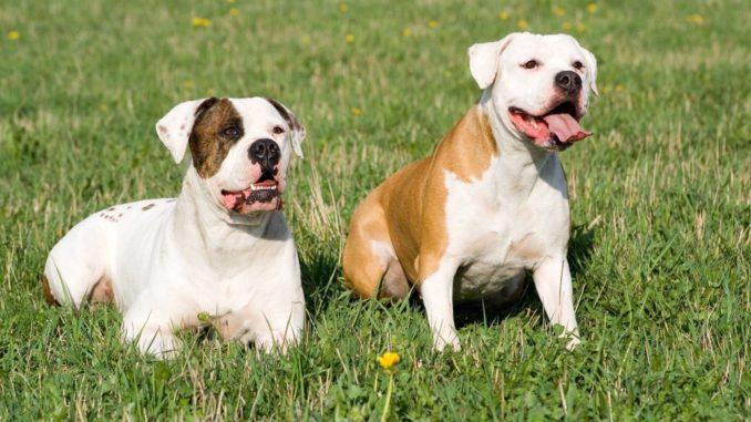 Zwei Amerikanische Bulldogen