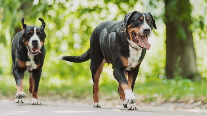 Grosse Schweizer Sennenhunde